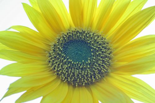 Core Of Sunflower