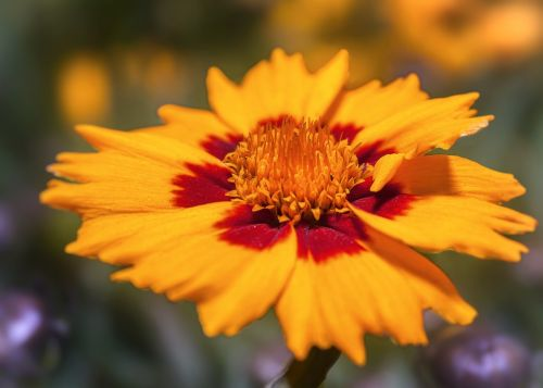 coreopsis blossom bloom