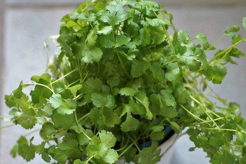 coriander  kitchen  herb