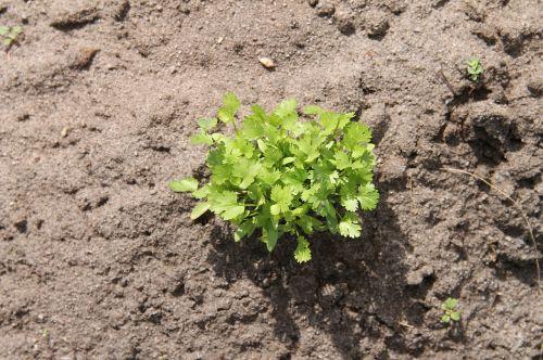 coriander plant vegetable