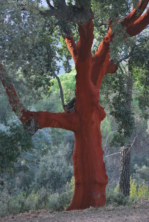 cork oak red bark