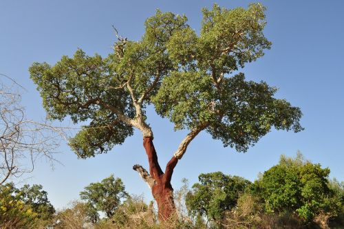 cork oak cork bark