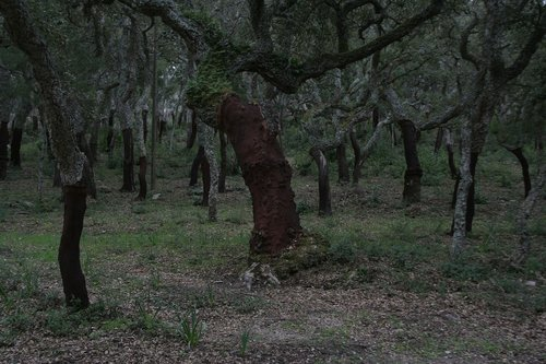 cork oaks  forest  nature