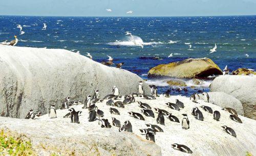 cormorant south africa penguins