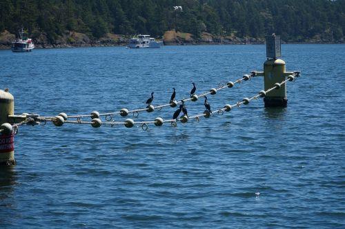 cormorant cormorants birds
