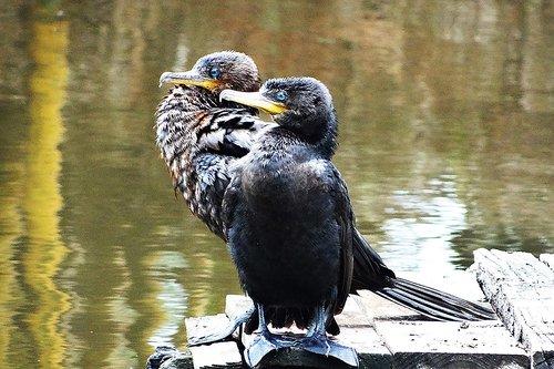 cormorant  neotropic cormorant  lake