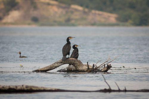 cormorant wisla bird