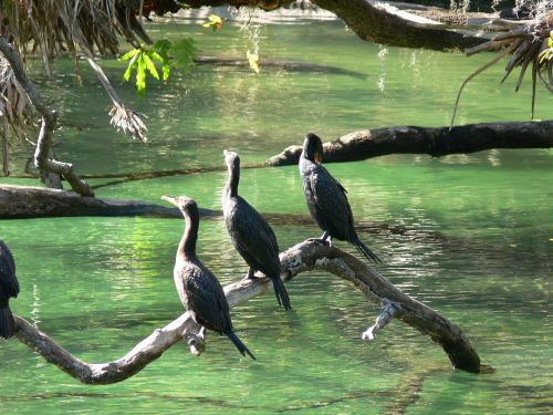 cormorants birds springs