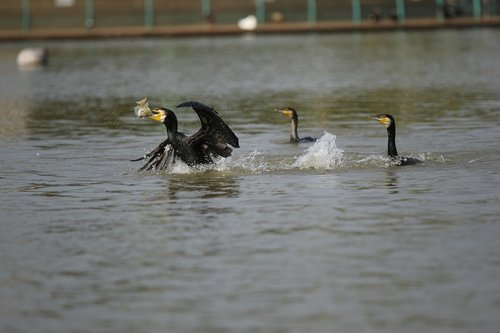 cormorants  hunt  hunting