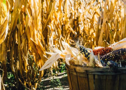 corn maize cob