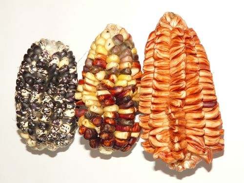 corn cereals agriculture