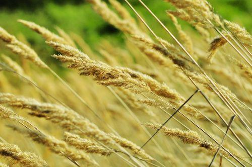 corn meadow nature