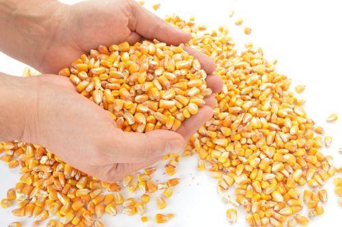 corn cereals harvest