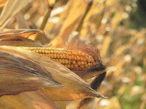 corn maize plant