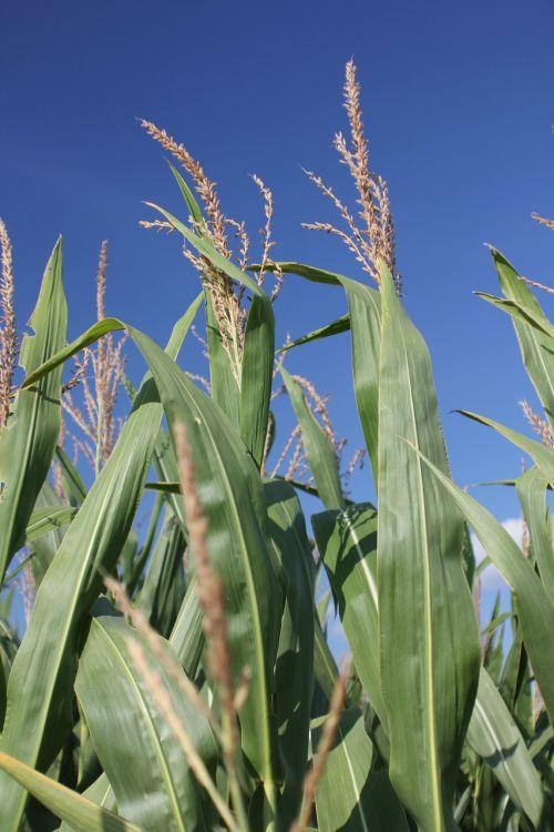 kukurūzai,missouri,Žemdirbystė,ūkis,kaimas,derlius,ūkininkavimas,maistas,derliaus nuėmimas,pasėlių,žemės ūkio,kukurūzų kuras
