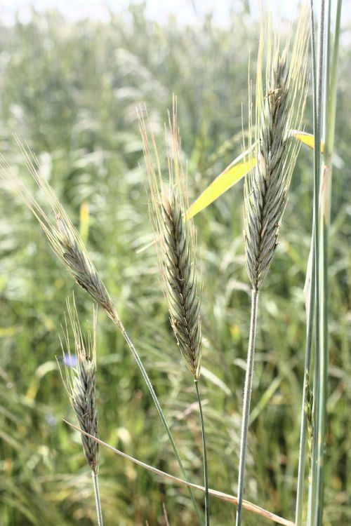 corn field green