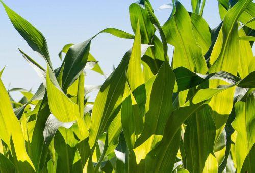 kukurūzai,kukurūzų lukštai,lapija,žalias,lapai,Žemdirbystė,gamta,augalai,žalias lapas