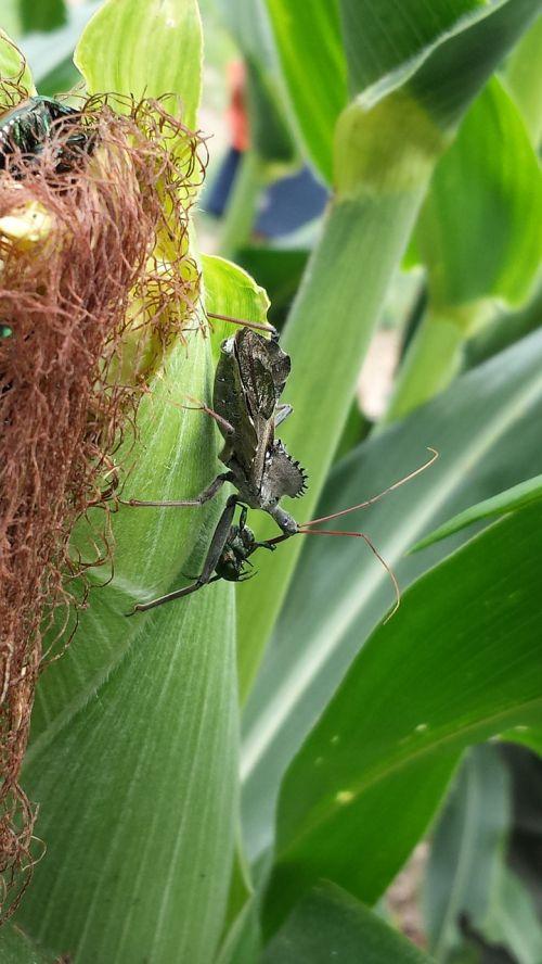 corn cornfield insect