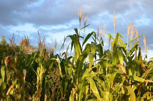 corn sky planting