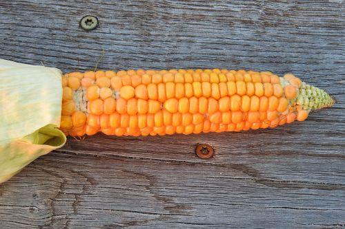 corn corn on the cob vegetables