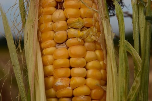corn dry agriculture