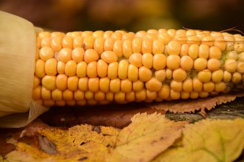 corn fresh corn frisch