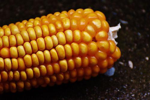 corn corn on the cob corn kernels