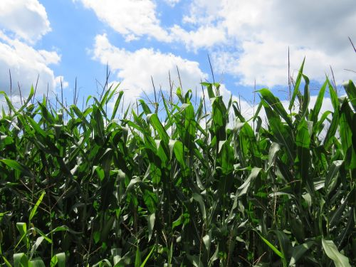 corn wisconsin agriculture