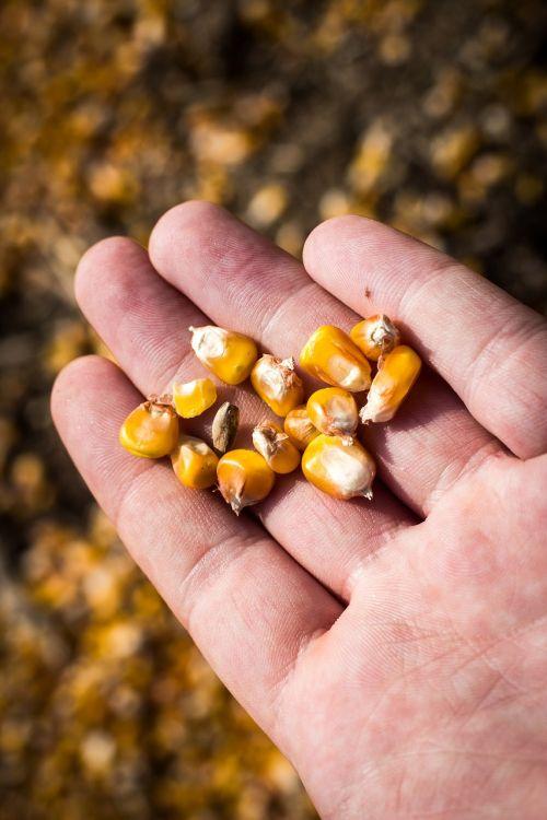 corn hand people