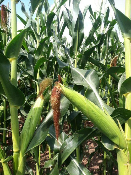 corn cob plant