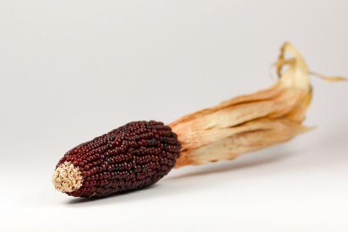 corn ornamental corn cereals