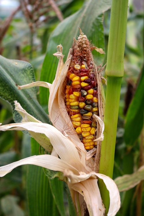 corn maize grow