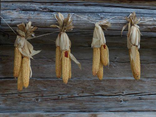 corn autumn corn on the cob