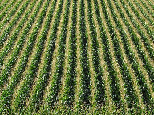 corn field cornfield