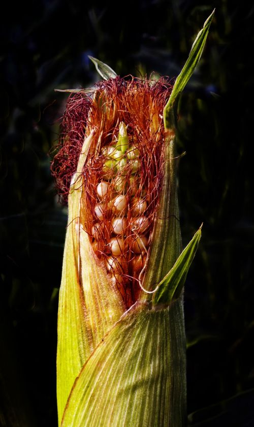 corn corn on the cob agriculture