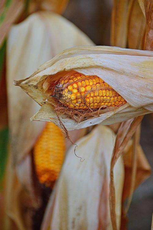 corn crop produce