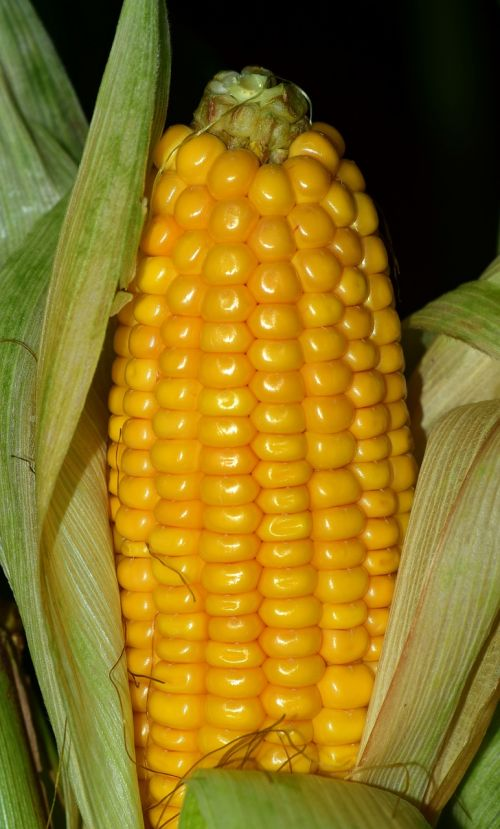 corn corn on the cob food