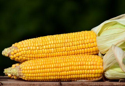 corn corn on the cob food