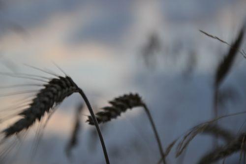 corn wheat plant