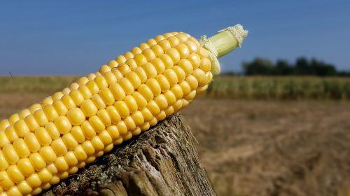 corn corn on the cob corn harvest