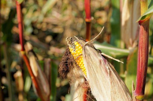 corn piston harvest