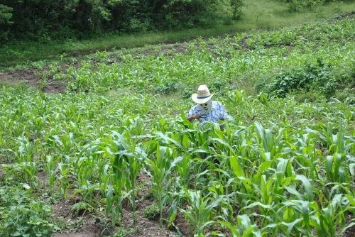 corn maize field super torito