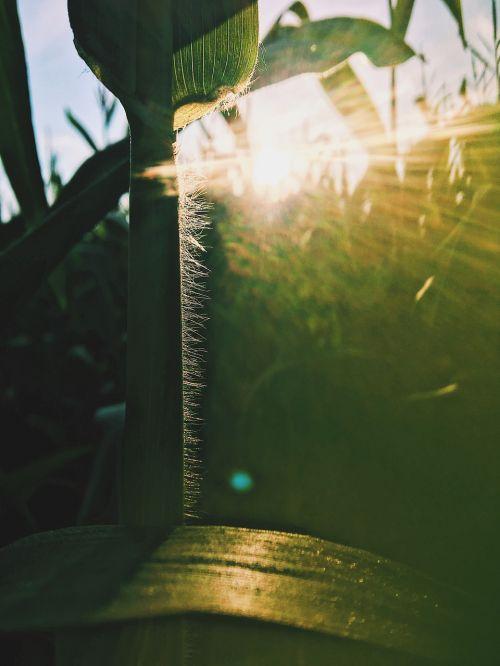 corn field sun