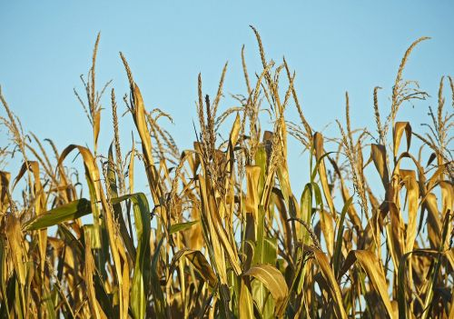 corn ready to be harvested foliage