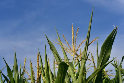 corn  cornfield  agriculture