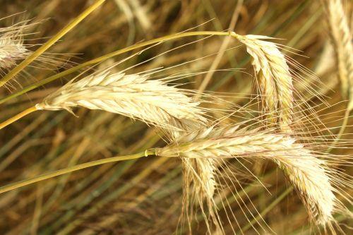 corn kłos grains