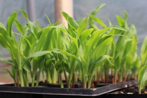 corn  seed starting in container  growing corn