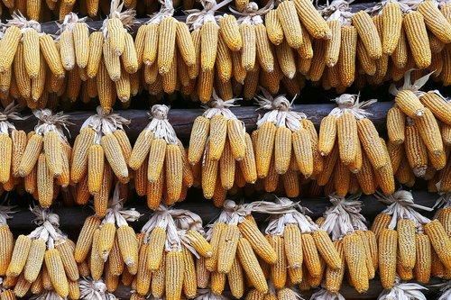 corn  drying  china