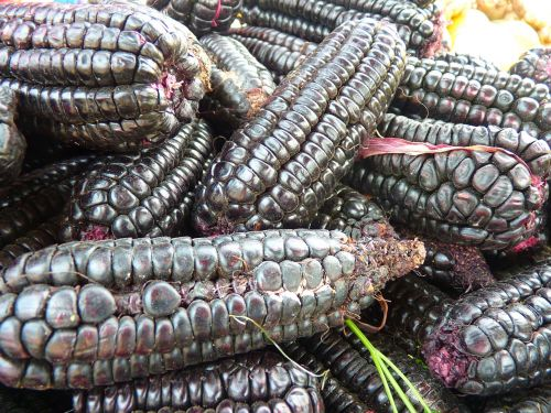 corn black maize food