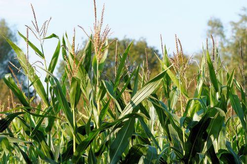 corn cornfield plant
